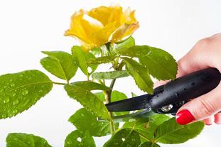 rose-1744950__340