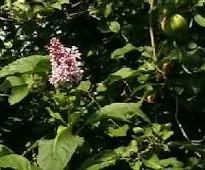 boomerang lilac