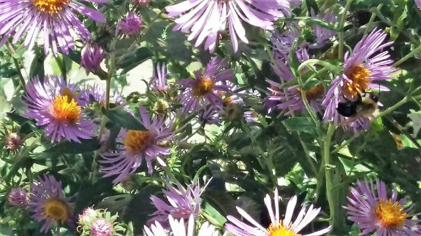 Asters, butterflies and bees