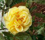 fall roses