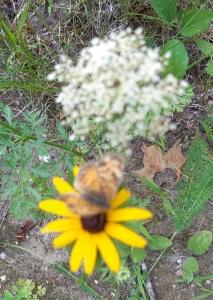 Gypsy Moths Defoliating Eastern Ontario Forests
