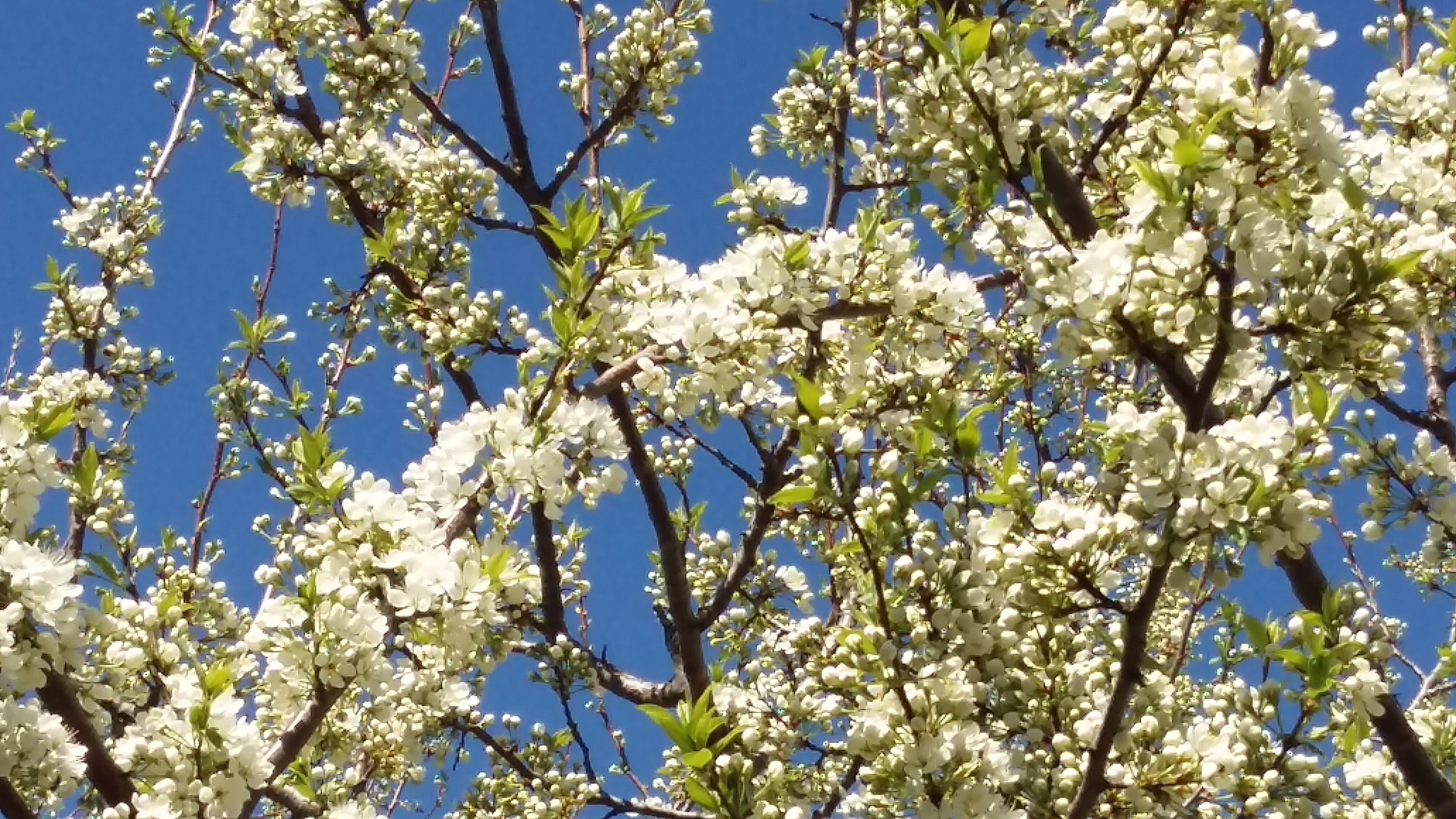 what happened to the blossoms on my plum tree