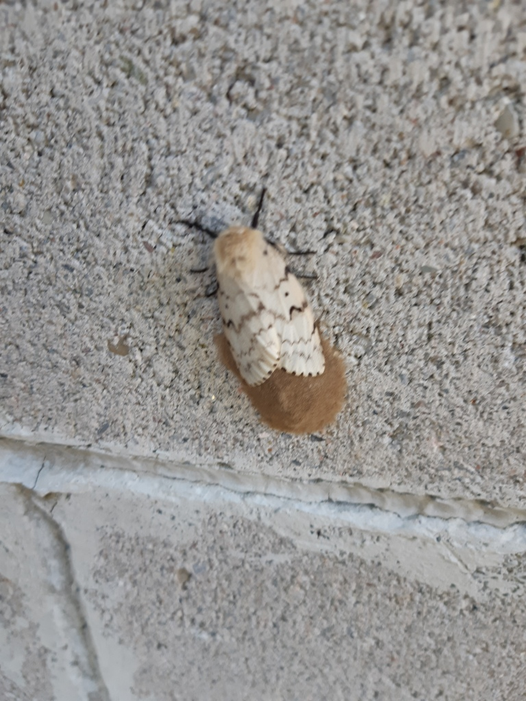 what are gypsy moths